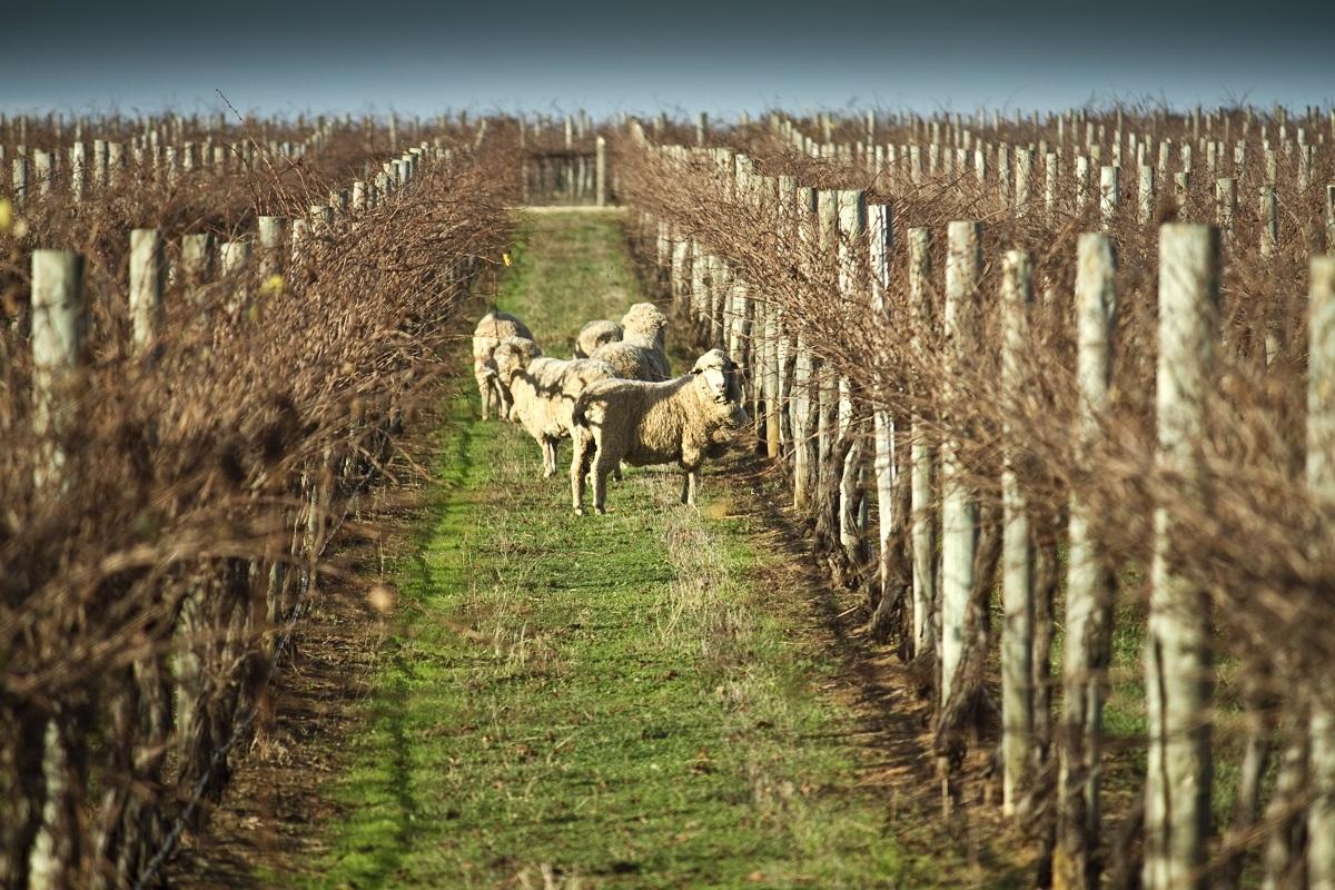 Langhorne Creek vineyards